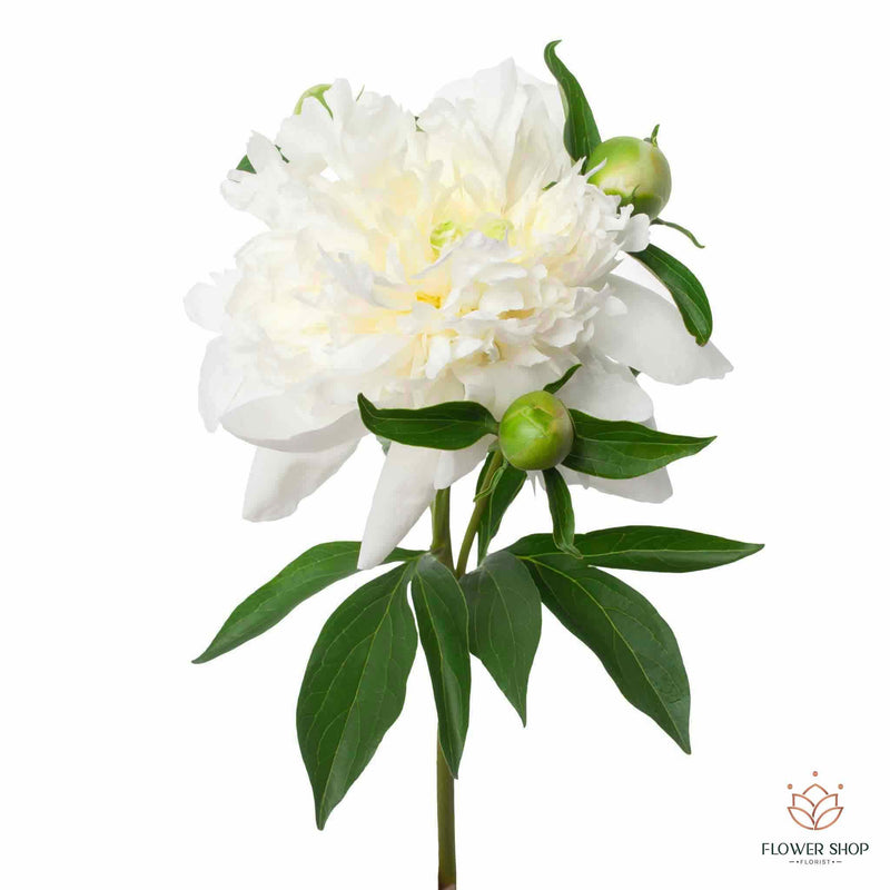 Open double white peony flowers kilbirnie wellington florists New Zealand flower delivery