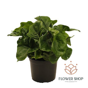 Philodendron Atom Plant in Wellington New Zealand - buy plants online delivery