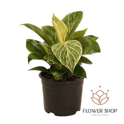 Philodendron Birkin pot plant delivery online  - Flower Shop Florist Wellington NZ