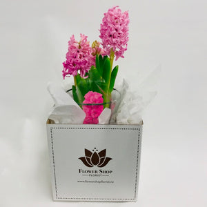 Pink Hyacinth Plant in Flower Shop gift box, natural scent and fragrant flowers Wellington New Zealand - Flower Shop Florist Wellington NZ - Plant delivery Wellington central city region