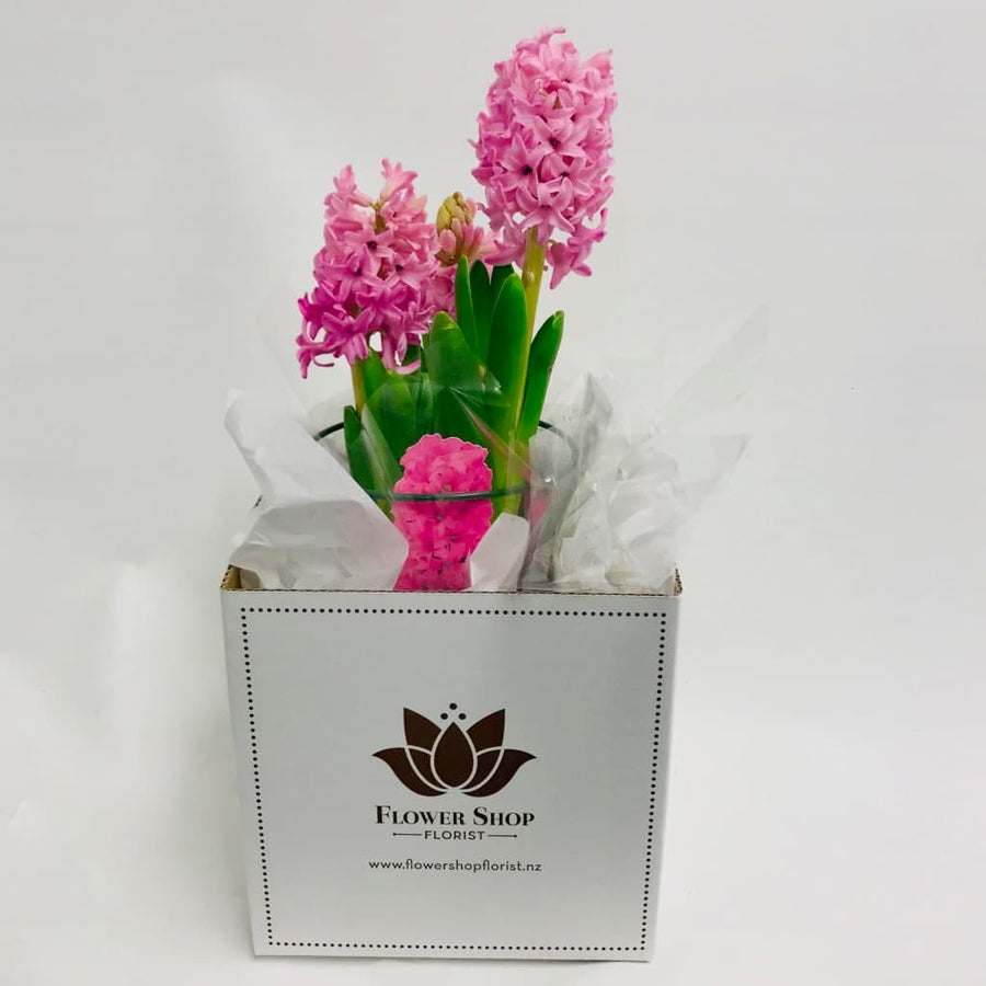 Pink Hyacinth fragrant Plant in Gift Box