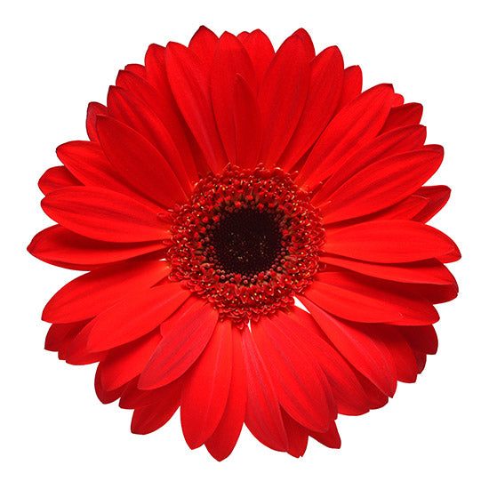 Red Gerbera Flowers Bouquet - Flower Shop Florist Wellington NZ