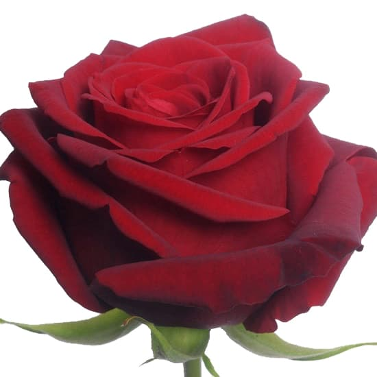 Red Naomi Roses Wellington - Single Red Rose - Flower delivery Wellington - florist in wellington - kilbirnie florists