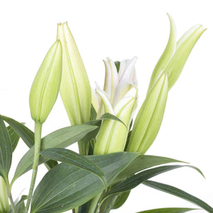 Tight bud white lilies scent flowers Wellington New Zealand florist flower delivery online shop