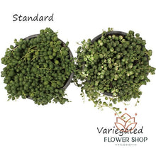 Load image into Gallery viewer, Comparison of String of Pearls pot plant delivery online - Flower Shop Florist Wellington NZ