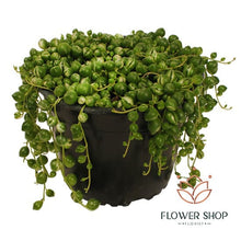 Load image into Gallery viewer, Variegated String of Pearls pot plant delivery online - Flower Shop Florist Wellington NZ