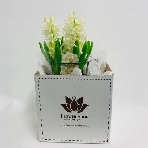 White Hyacinth Plant in Flower Shop gift box Wellington florist same day flower and plant delivery in Wellington central city region - kilbirnie florists - Flower Shop Florist Wellington NZ