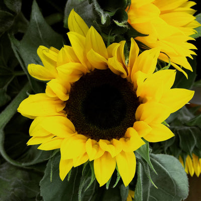 Sunflowers in mass! - Sunflowers Flower Bouquet - Flower Shop Florist Wellington NZ - 2