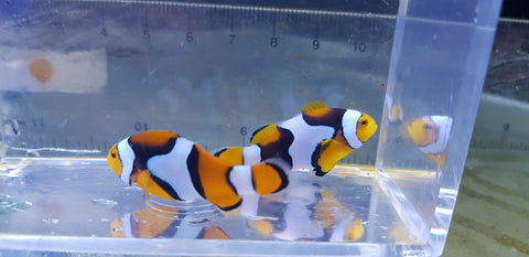 Onyx Percula clown pair