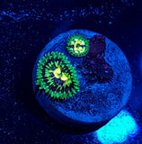 Mellow Yellow Zoa Auction