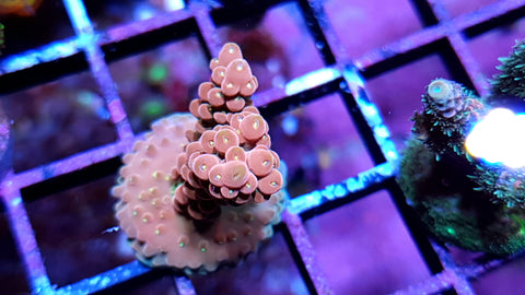 Burgandy Cherry Blossom with yellow polyps Acro