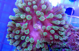 UCA Toffee Apple Bubble Tip Anemone