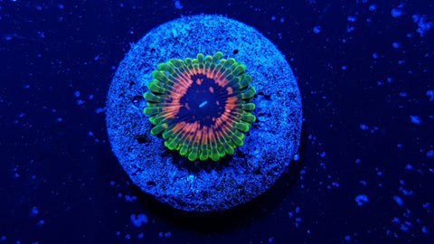 Hallucination Zoa Auction