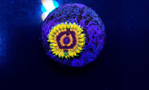 Adonis Zoanthid Single Polyp - Live Auction