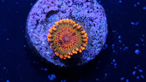 Speckled Krakatoa Zoanthid Single Polyp plus pup - Live Auction
