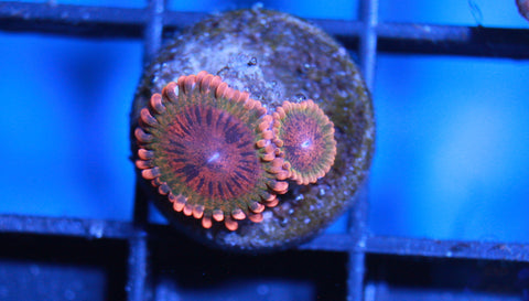 Speckled Krakatoa Zoanthid 2 Polyp - Live Auction