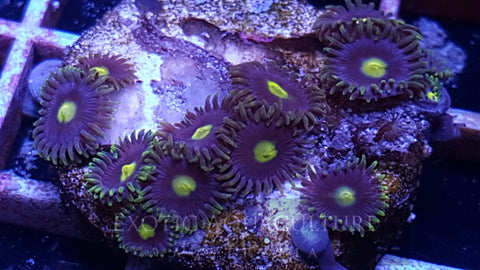 Alien Eyes Zoanthids