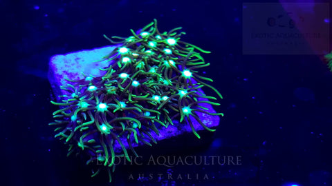 Metallic Green Star Polyps -small
