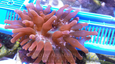 Rose Bubble Tip Anemone 2