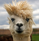 alpaca bad hair day