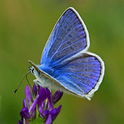adonis blue butterfly | inspiration