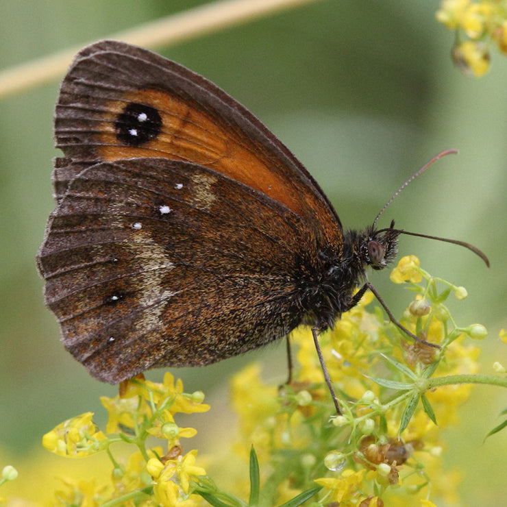 gatekeeper butterfly | inspiration