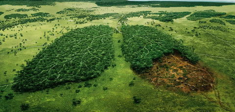 deforestation trees lungs of the earth
