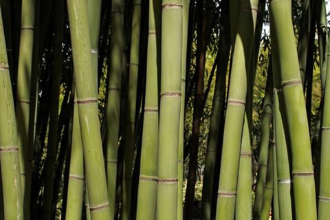 Tall bamboo growing, the natural ingredient of bamboo toilet paper