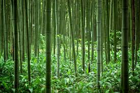 bamboo forests pure planet club