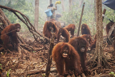 animals orangutang deforestation