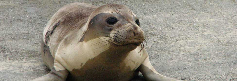 Marine Mammal Center Adopt-a-Seal program
