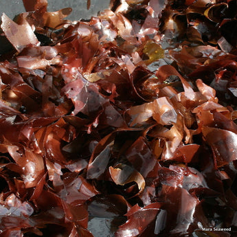 Dulse Seaweed Recognised as a 'Forgotten Food'