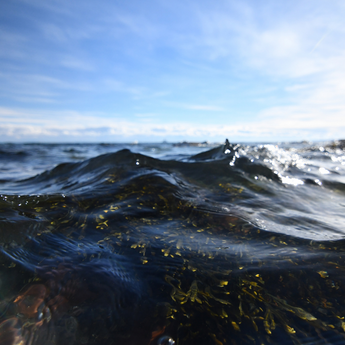 Could Seaweed Help Us Fight Covid-19?