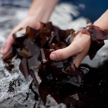 What is Dulse Seaweed?
