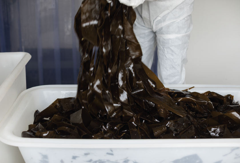 Wet kombu seaweed for processing in Mara Seaweed factory