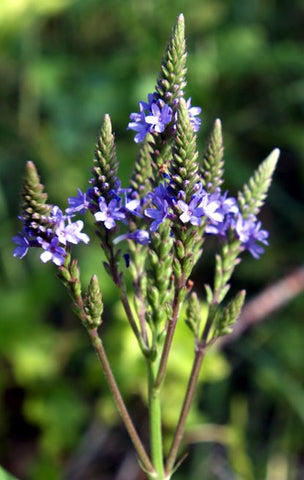 Blue Vervain, Magic Herb of the Druids