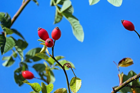 Rosehips: Medicine of Transition and Fruitful Cycles