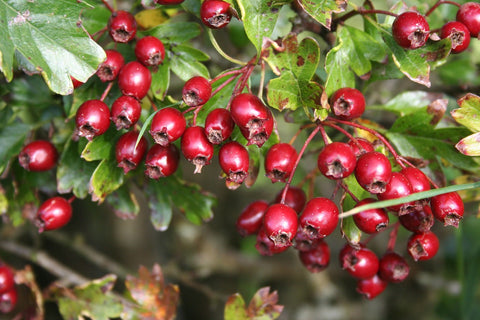 Hawthorn for Heart Healing