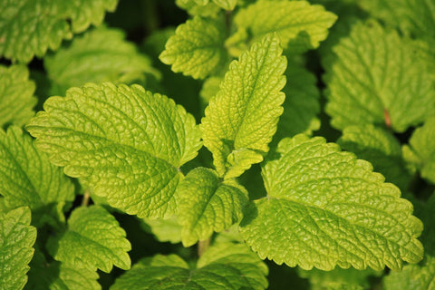 Gentle Calming with Lemon Balm