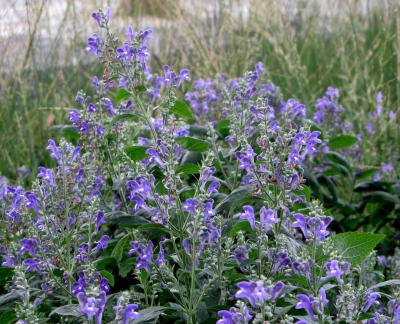 Treating Insomnia with Skullcap