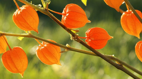 Ashwagandha for Chronic Stress