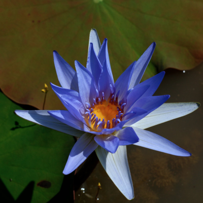 Deep dreaming with blue lotus the alchemists kitchen blue lotus a flower favored highly in ancient egypt is a subtle psychoactive that induces feelings of tranquility and euphoria and can give waking life mightylinksfo