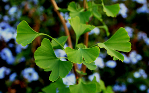 memory enhancing properties found in ginkgo biloba 2018-03-19 ginkgo biloba benefits katie - wellness mama 12  antioxidants like those found in ginkgo fight off free radicals, and stop them from damaging dna and  helping improve memory.