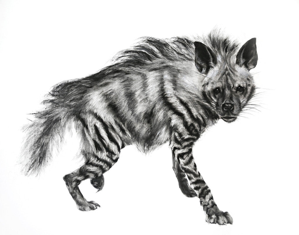 Striped Hyena giclee print of a charcoal drawing by Lucy Boydell