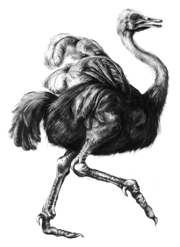 Ostrich giclee print of a charcoal drawing by Lucy Boydell