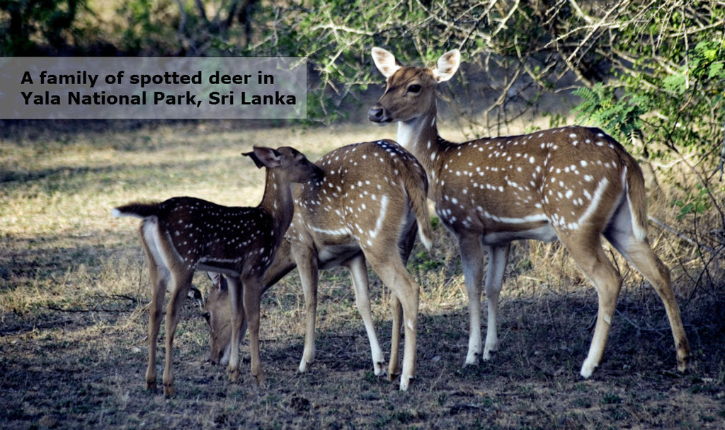 A family of spotted deer in Yala National Park in Sri Lanka
