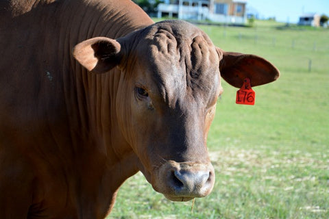 Bull - MR Kitimat K176 (Senepol)