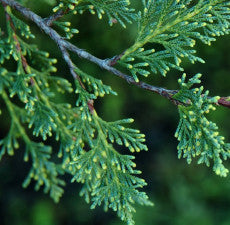 Cypress Essential Oil (Australian Blue)