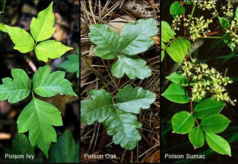 Poison Ivy Poison Oak Sumac Relief  that really works!! Essential  Oil Blend Holistic