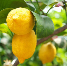 Lemon Essential Oil great for Bronchitis, Cold Sores, Fever, Flu and Depression